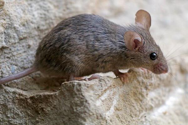 domaci kucni miš